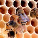 Bienen bei den hexagonalen Bienenwaben